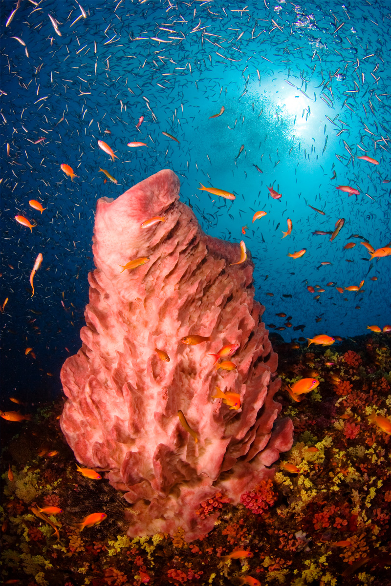 A barrel sponge surrounded by fish at Dixon's Pinnacle in the Andaman Islands