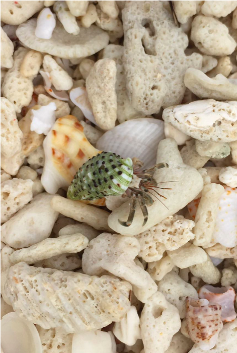 Hermit crab blending in with washed up coral. Image courtesy -Natasha Jeyasingh