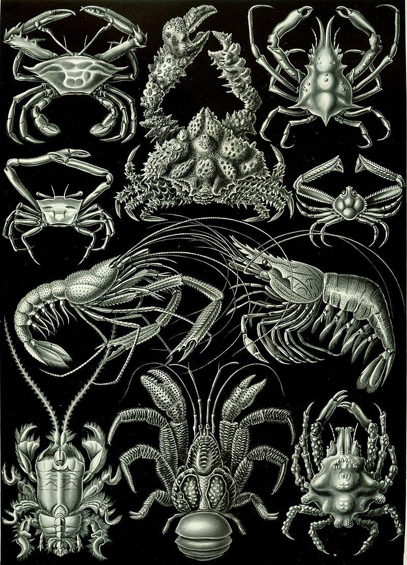 800px-Haeckel_Decapoda
