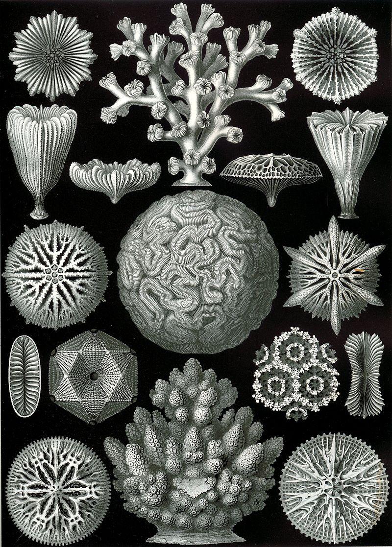 800px-Haeckel_Hexacoralla